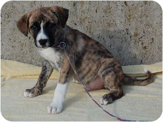 Rocky | Adopted Puppy | 1-23-3 | North Judson, IN | Boxer ...