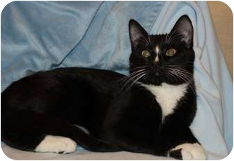 Domestic Shorthair Cat for adoption in Berlin, Connecticut - Oreo