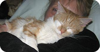 Domestic Longhair Kitten for adoption in Speonk, New York - Anya
