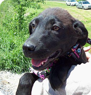 Labrador Retriever/Shepherd (Unknown Type) Mix Puppy for adoption in Bedminster, New Jersey - SAGE
