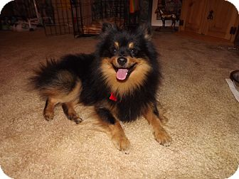 Pomeranian Dog for adoption in conroe, Texas - Rotti