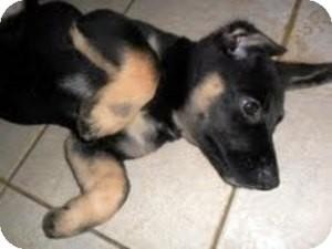 German Shepherd Dog/Labrador Retriever Mix Puppy for adoption in Bartonsville, Pennsylvania - DALLAS