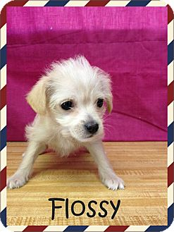 Terrier (Unknown Type, Small) Mix Puppy for adoption in Desert Hot Springs, California - Flossy