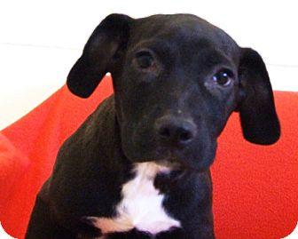 Labrador Retriever/Hound (Unknown Type) Mix Puppy for adoption in Kalamazoo, Michigan - Lotus