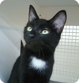 Domestic Shorthair Cat for adoption in Richmond, Virginia - Lillith