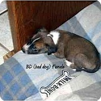 Adopt A Pet :: BD - New Boston, NH