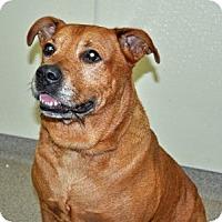 Adopt A Pet :: Bear - Port Washington, NY