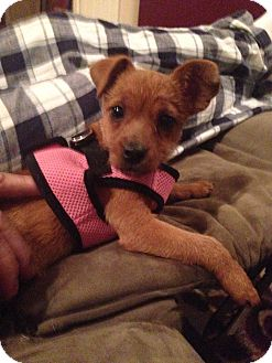 Chihuahua/Yorkie, Yorkshire Terrier Mix Puppy for adoption in Hockessin, Delaware - Hazel