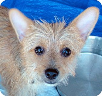Cairn Terrier Mix Puppy for adoption in Tumwater, Washington - Rusty
