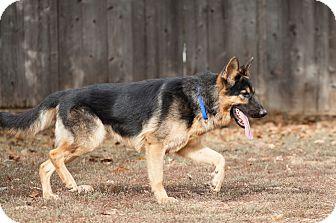 German Shepherd Dog Dog for adoption in Castro Valley, California - THUNDER