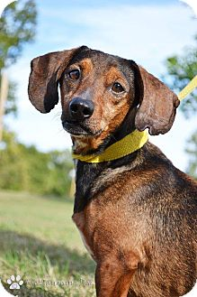 Dachshund/Terrier (Unknown Type, Small) Mix Dog for adoption in Stillwater, Oklahoma - Dino