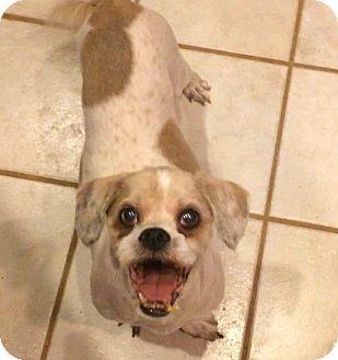 Cocker Spaniel/Shih Tzu Mix Dog for adoption in West Seneca, New York - Oscar