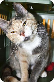 Domestic Shorthair Cat for adoption in Cincinnati, Ohio - Betty