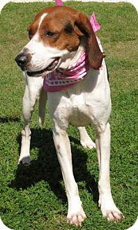 Foxhound Dog for adoption in Port St. Joe, Florida - Olive