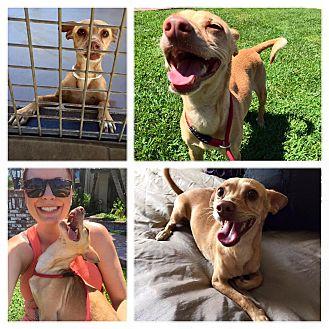 Chihuahua/Basenji Mix Dog for adoption in Hurricane, Utah - Piper