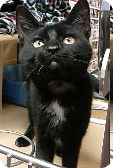 Domestic Shorthair Cat for adoption in Covington, Kentucky - Isabelle