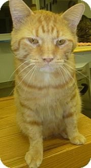 Domestic Shorthair Cat for adoption in Hamburg, New York - Opie