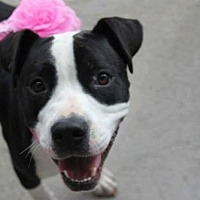 Pit Bull Terrier Mix Dog for adoption in Lexington, Kentucky - Maxine