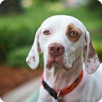 Adopt A Pet :: Champ- ILLINOIS - Wood Dale, IL