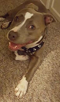 American Staffordshire Terrier Mix Dog for adoption in San Diego, California - Courtesy Listing: Belz