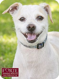 Jack Russell Terrier/Chihuahua Mix Dog for adoption in Marina del Rey, California - Rosco