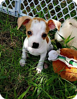 Chihuahua/Jack Russell Terrier Mix Puppy for adoption in New Braunfels, Texas - Rosie