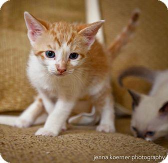 Turkish Van Kitten for adoption in Los Angeles, California - Osiris