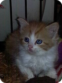 Domestic Longhair Kitten for adoption in Golsboro, North Carolina - MUNCHKIN