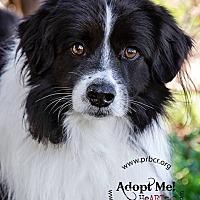Adopt A Pet :: Kieran - Charleston, SC