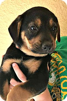 Rottweiler Mix Puppy for adoption in Boulder, Colorado - Rocky