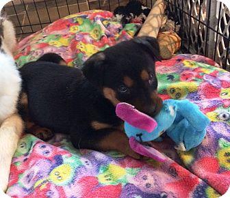 Australian Shepherd/Terrier (Unknown Type, Medium) Mix Puppy for adoption in Ada, Minnesota - Princess Sophia