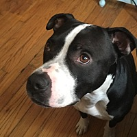 American Pit Bull Terrier/American Pit Bull Terrier Mix Dog for adoption in West Chester, Pennsylvania - Luda