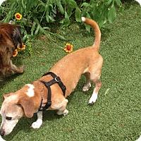 Adopt A Pet :: Toby - Louisville, CO