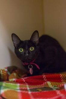 Domestic Shorthair/Domestic Shorthair Mix Cat for adoption in Kennewick, Washington - Pickles