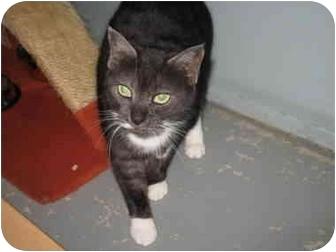 Domestic Shorthair Cat for adoption in Mission, British Columbia - Darla