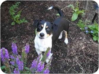 Chihuahua Mix Dog for adoption in Salem, Oregon - Jimmy