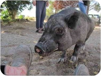 Pig (Potbellied) for adoption in Las Vegas, Nevada - Streak