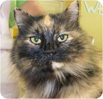 Domestic Longhair Cat for adoption in Chattanooga, Tennessee - Lee-Lou