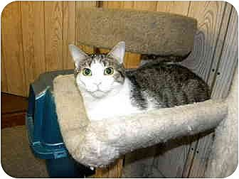 Domestic Shorthair Cat for adoption in Bartlett, Illinois - Minnie