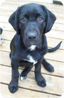 Labrador Retriever Mix Puppy for adoption in Lewisville, Indiana - Curly