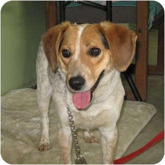 Beagle/Australian Cattle Dog Mix Dog for adoption in Bonners Ferry, Idaho - Duke
