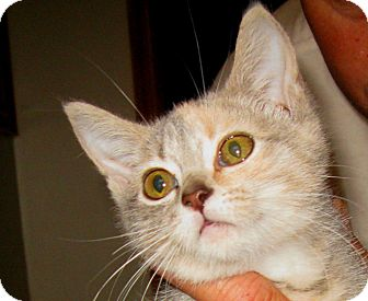 Domestic Shorthair Kitten for adoption in Bedford, Virginia - Jenny
