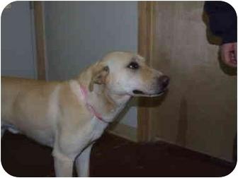 Labrador Retriever Dog for adoption in Shelbyville, Kentucky - Yellow  :-)