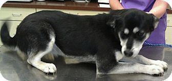 Siberian Husky Mix Dog for adoption in Sterling, Kansas - Juno