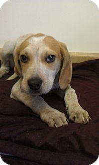 Hound (Unknown Type) Mix Puppy for adoption in Waldorf, Maryland - Bandit #306