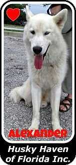 Siberian Husky Dog for adoption in Clearwater, Florida - Alexander
