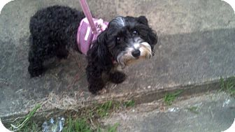 Poodle (Miniature) Dog for adoption in Goldens Bridge, New York - Bella