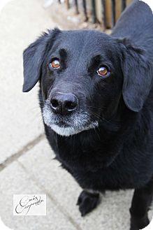 Labrador Retriever/Labrador Retriever Mix Dog for adoption in New Windsor, New York - Chance