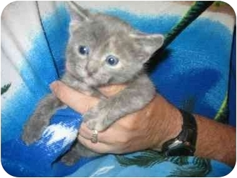 Russian Blue Kitten for adoption in Tracy, California - Barbara
