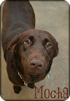 Labrador Retriever Mix Dog for adoption in Beaumont, Texas - Mocha